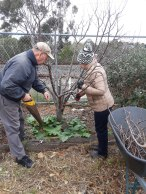 Pruning the plum trees