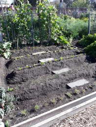 A bed cleared of winter produce and replanted