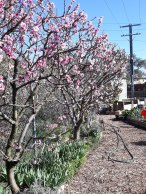 Apricot and nectarine trees