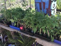 Heritage tomato seedlings raised by members